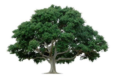 Picture of a large tree